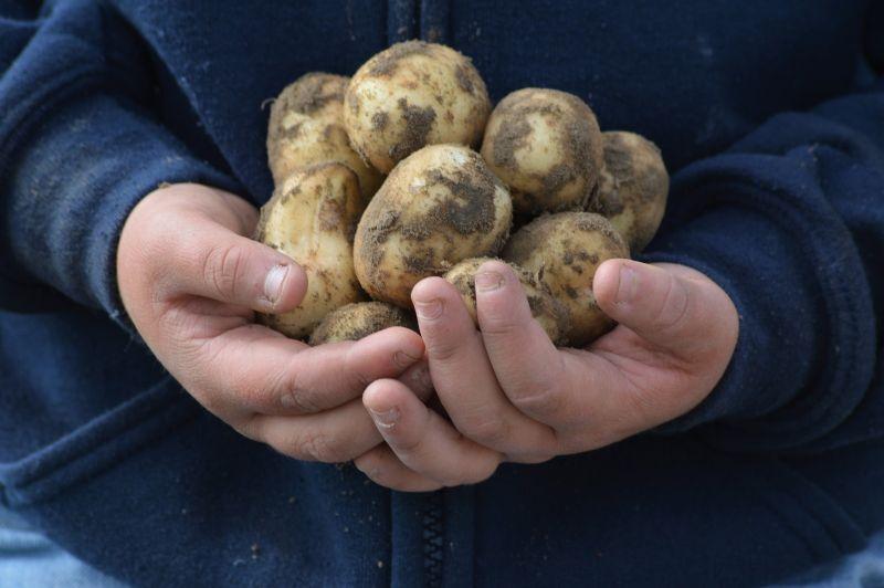 Jongetje met aardappels