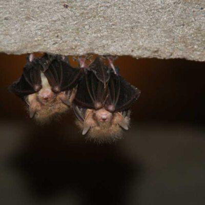 vleermuis-duo-aan-plafond