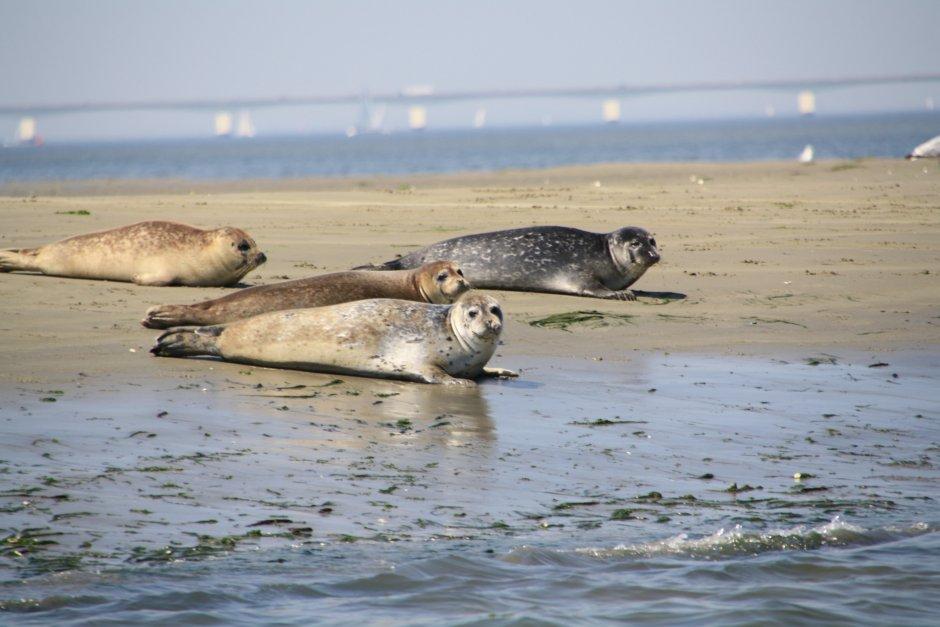 zeehonden-op-de-Oosterschelde