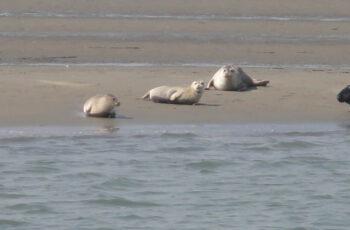 zeehondjes op de plaat